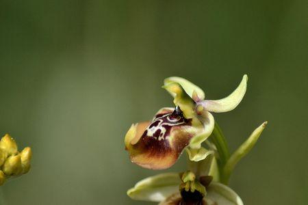 Ophrys oxyrrhynchos photo