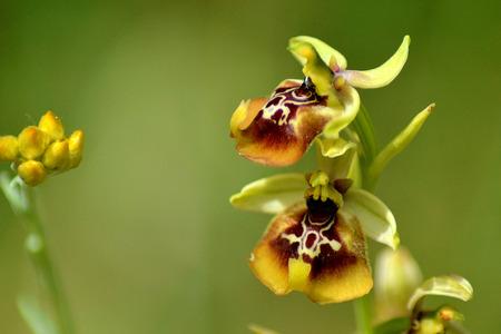 Ophrys oxyrrhynchos Stock Photo