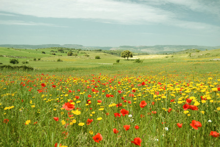 Landscape with flowering meadow - poppies and yellow daisies