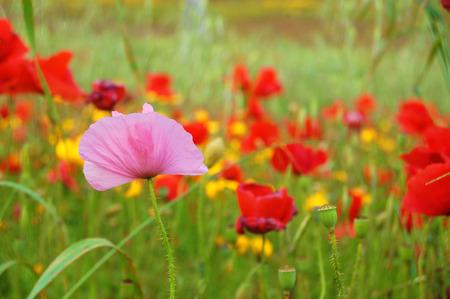 Diversity - pink poppy Stock Photo