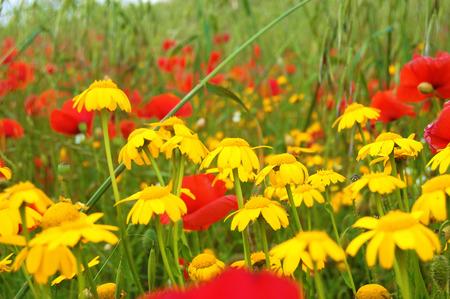 Yellow daisies and poppies Stock Photo