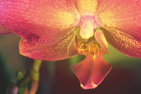 Macro picture of a phalaenopsis orchid