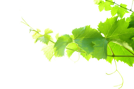 Vine leaves isolated on a white background