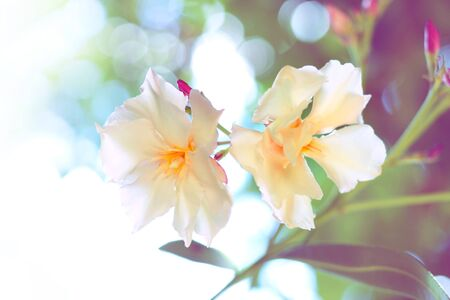 oleander: Oleander flowers with sunlight