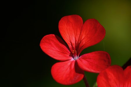 Macro of a red geranium flower Stock Photo