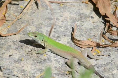 green lizard lizard Archivio Fotografico - 120762660