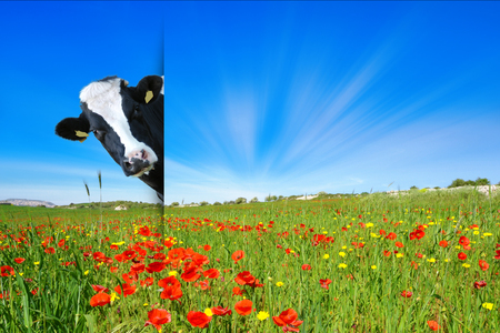 Naughty cow - cow looking in a flower meadow with poppies and grass
