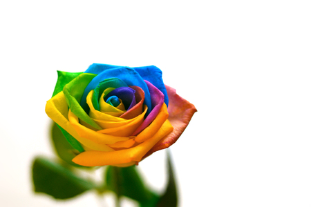Beautiful rose flower with the colors of the rainbow - rainbow Rose - Rosa multicolored