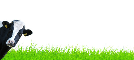 Blades of grass on white background with cow watching
