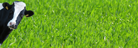 Template of a green grass with cow Stock Photo