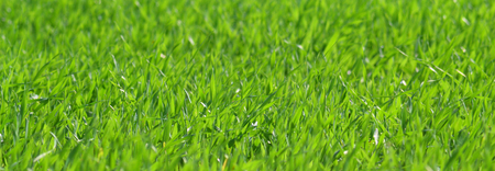 Young seedlings of oats - Green - Lawn - Grass Stock Photo