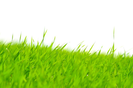 Strands of green grass isolated on white background