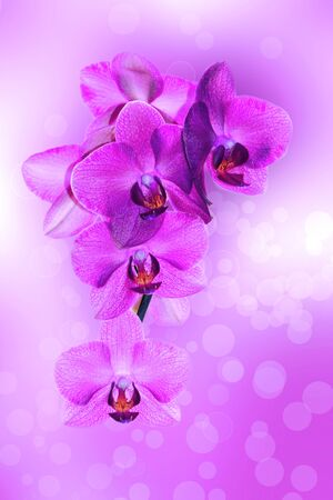 Orchid pink on a beautiful pink and white background with the balls of light Stock Photo
