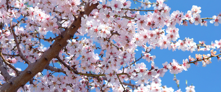 almond tree blossom - Spring Stock Photo