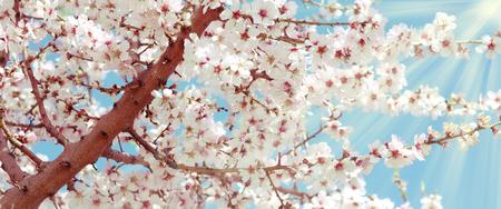 mandorlo fiore - Primavera