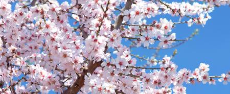 almond tree blossom - Spring Stock Photo