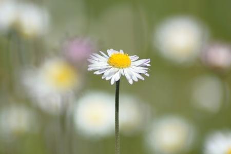 of daisy flower wild