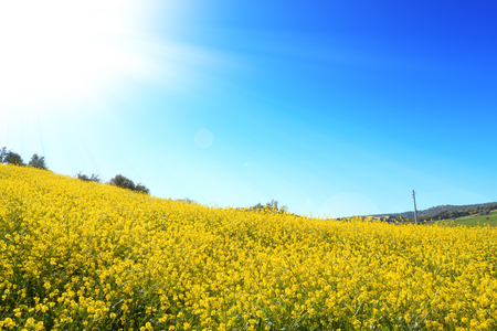 Biodiesel. Fabulous field with yellow rapeseed flowers and a beautiful blue sky. Biofuels. Echo. Agricultural field for production of industrial oil.