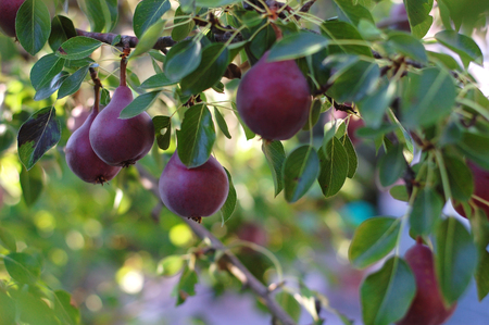 Pear branch with red pears, red bartlett pears in an orchard