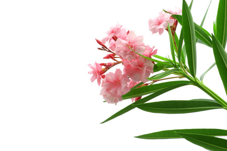 pink oleander flowers with green leaves isolated on white background 255