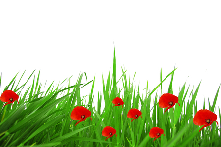 grass and poppies white background 255