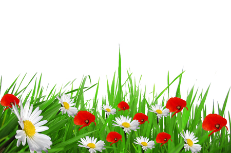 grass poppies and daisies on a white background 255