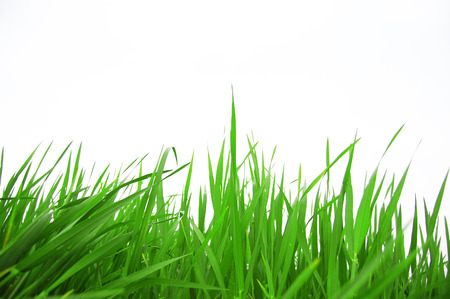 green grass on a white background 255