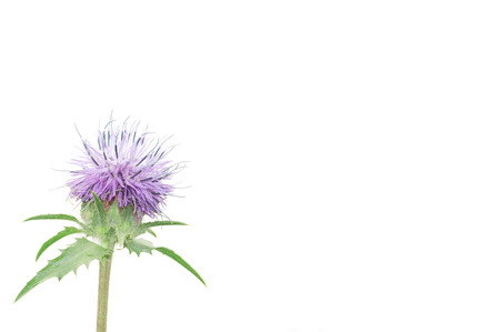 purple thistle flower with green leaves on a white background Imagens