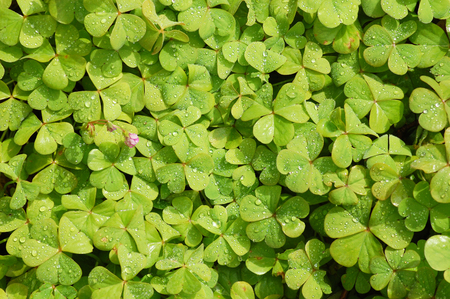 background with clover with raindrops Imagens