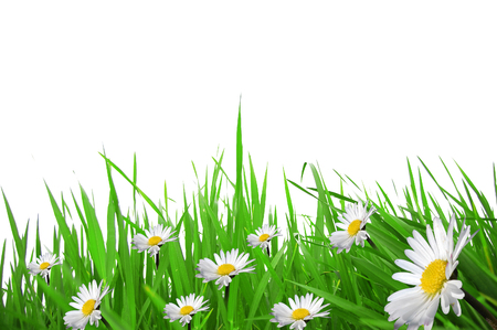 field daisies and strands of grass on a white spring background