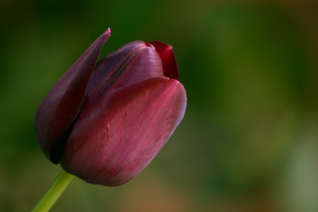 Burgundy tulip flower on blurred background