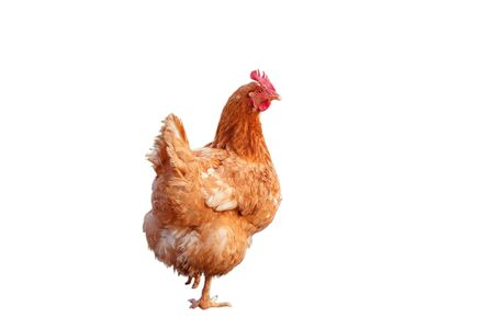 brown chicken hen standing isolated white background