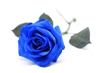 rosa blu su sfondo bianco