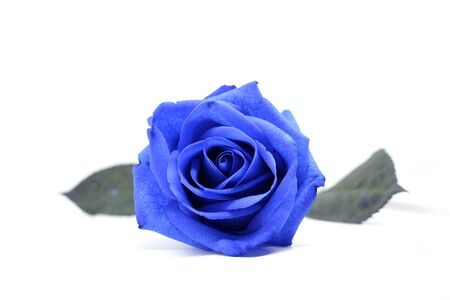 blue rose on a white background