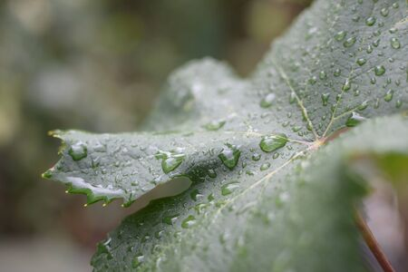 Vine leaf with dew