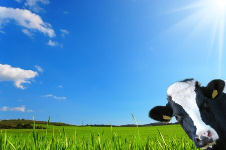 Witty cow, Dairy cow with prairie as background Stock Photo
