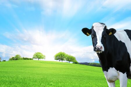 Dairy cow in the foreground with green pasture as a background