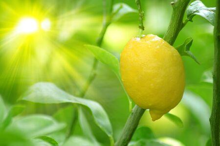 Image of a lemon tree branch with a yellow lemon