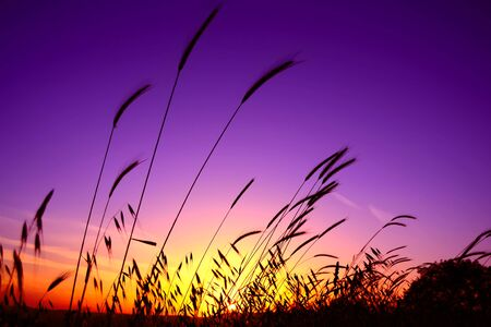 evening, purple and yellow grass and sunset