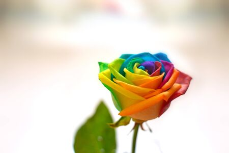 Rose, flowers with the colors of the rainbow