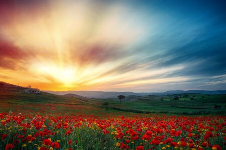 Poppy field at sunset. Field full of red poppies