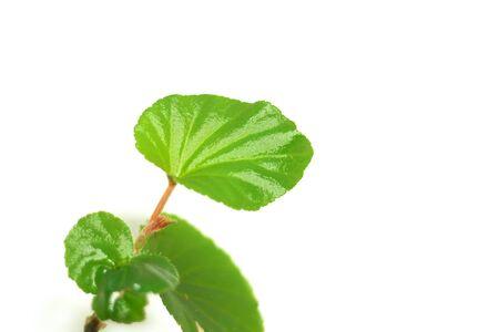Plant stem begonia.Angular begonia.