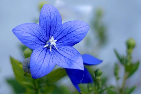 balloon flower with blue petals