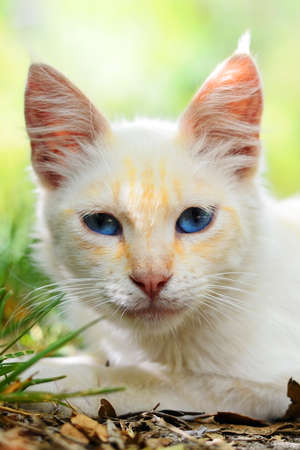 Beautiful close-up of a white cat with blue eyes