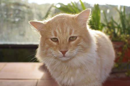 half-haired honey-colored domestic cat.