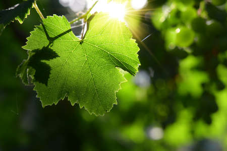 Grape leaf in the backlight