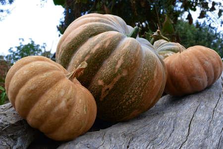 Collection of different pumpkins for autumn vegetable market.Collection of different pumpkins, halloween theme. Archivio Fotografico