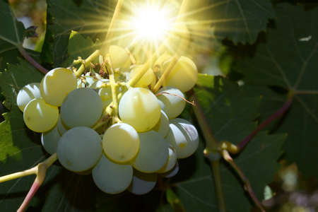 Bunch of white grapes with the sun between the leaves
