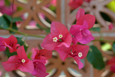 Pink bougainvillea with a flower-shaped terracotta brick background