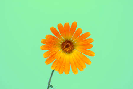 Marigold flower, calendula officinalis, isolated on a green background